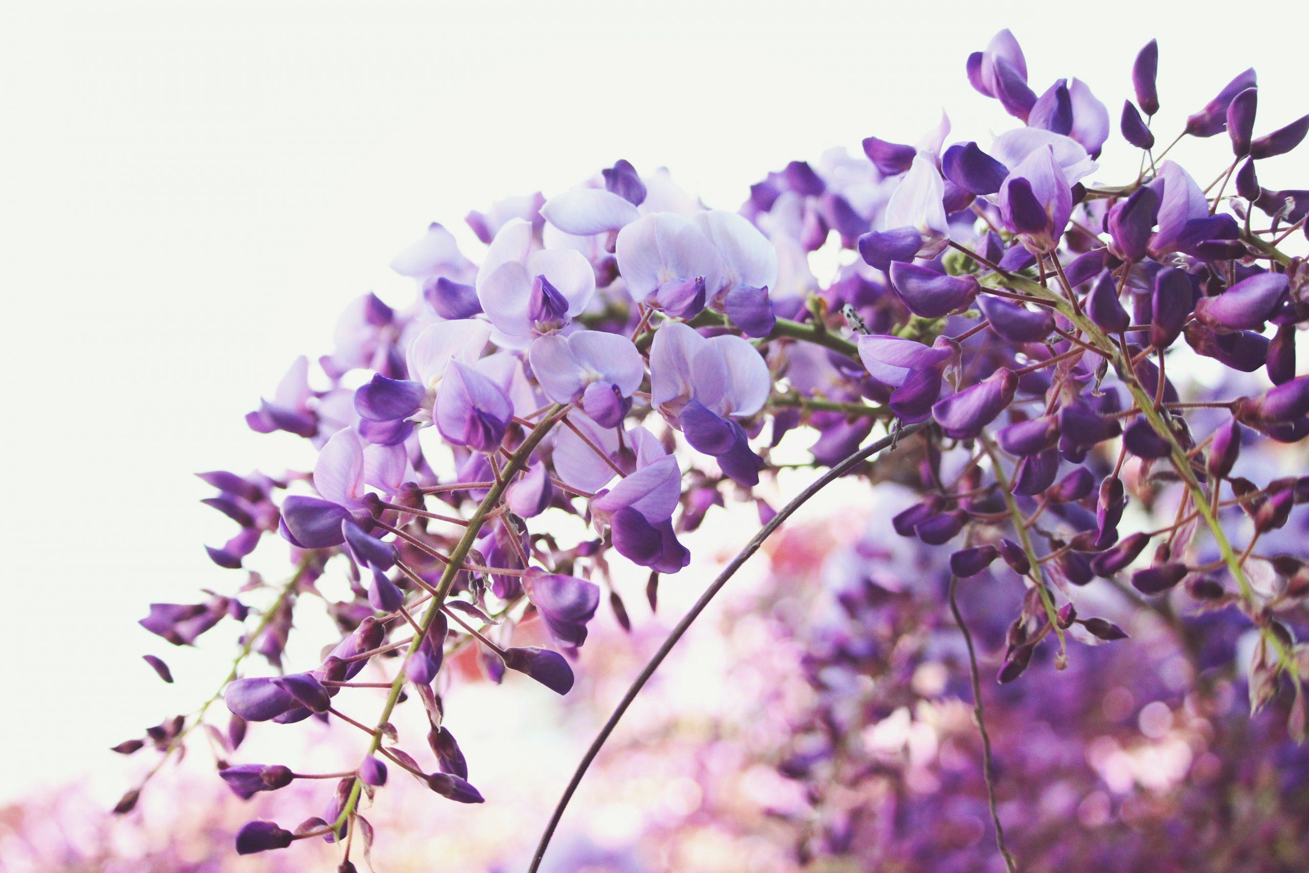 El Momento Púrpura